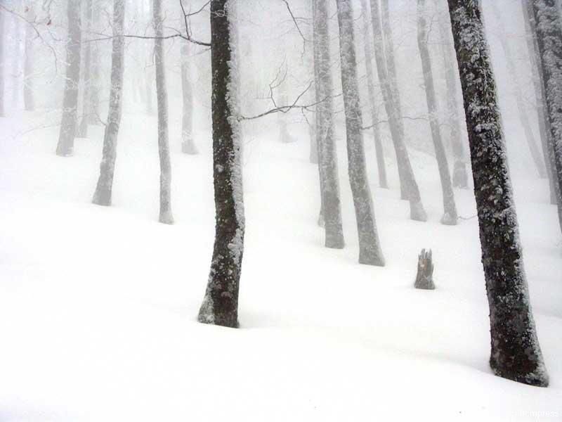 Nebelschneewald
