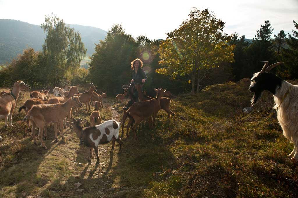 Ziegenherde auf dem Hochtal Steig