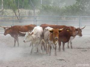 The Cattle web.jpg