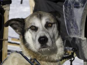 dog-sled-1.jpg