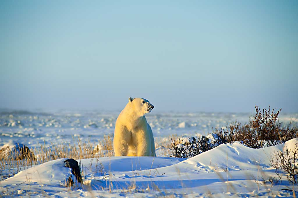 king-of-arctic
