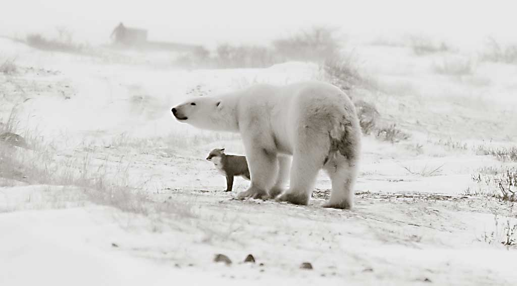 polar-bear-and-fox