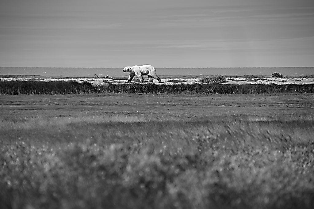 Eisbär Hudson Bay