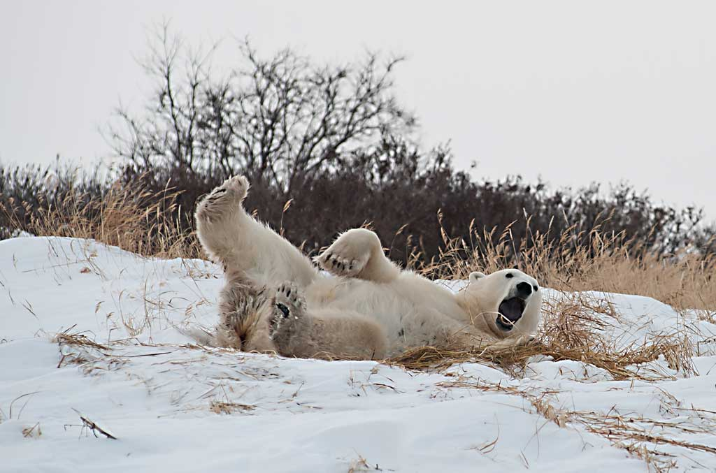 polar-bear-playing