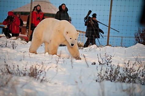 Eisbär fotografiert auf der Seal River Lodge © Birgit-Cathrin Duval