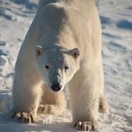 Eisbär verletzt zwei Menschen in Churchill