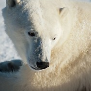 Sturm über der Arktis und Eisbärenyoga