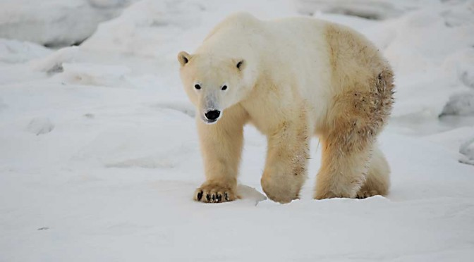 Eisbär-Fotosafari auf der Seal River Lodge
