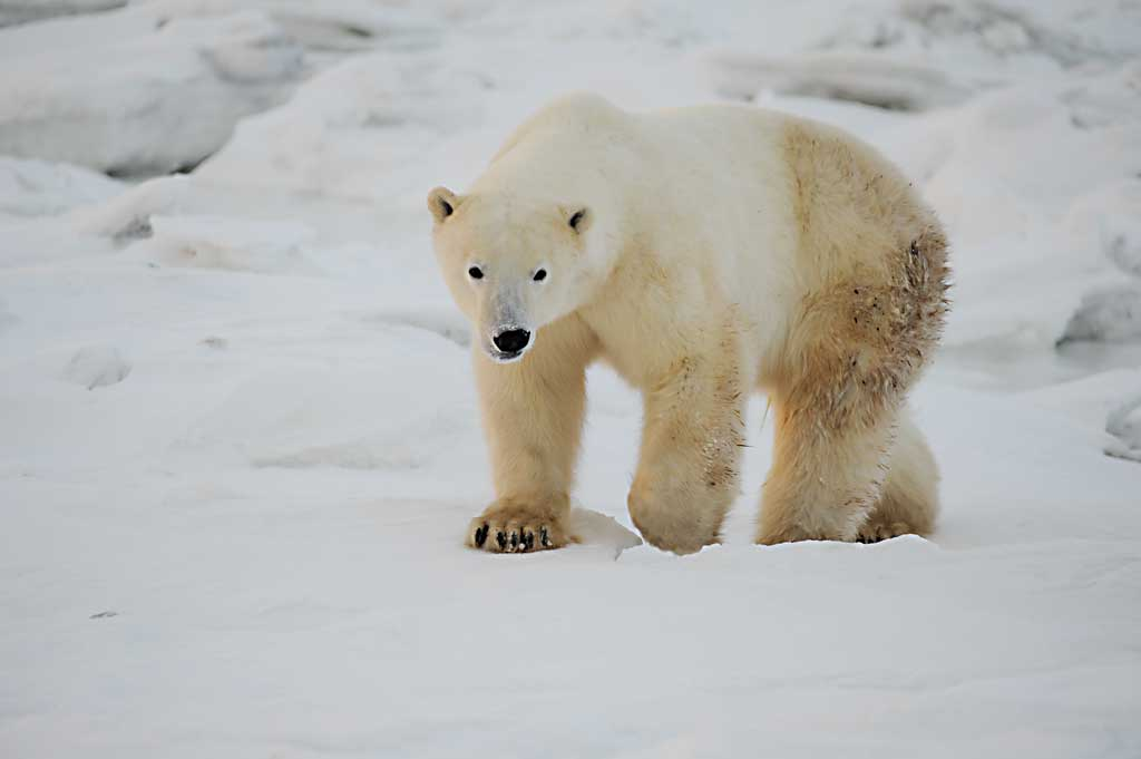 Polar-Bear-walking-towards-me
