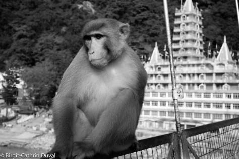 Rishikesh-Monkey
