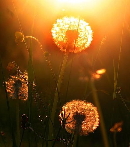 Löwenzahn in der Abendsonne, aufgenommen mit der Canon G9