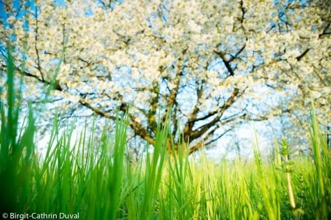 Kirschbaumblüte im Markgräflerland