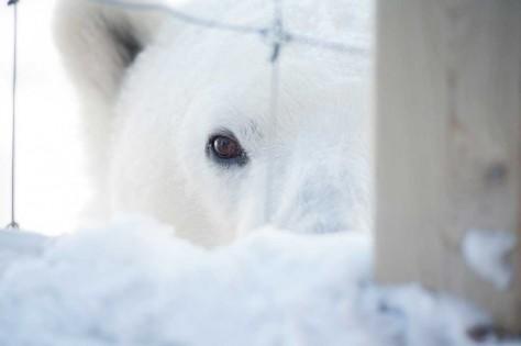 Neugieriger Eisbär bei der Seal River Lodge