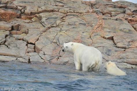 Ein Blick zurück - noch lässt uns die Eisbärin nicht aus den Augen