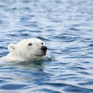 Abenteuer Nunavut: Wenn der Eisbär vor der Nase schwimmt