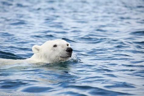 Kleine Eisbären sind einfach knuddelig