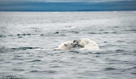 Instinktiv schützt die Eisbärin ihre Jungen vor uns  Eindringlingen