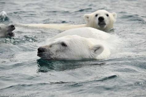 Die Eisbären kommen so nah, dass ich ihren Atem hören kann