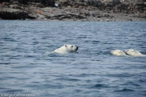 Die Eisbärin führt ihre Jungen sicher zur Insel