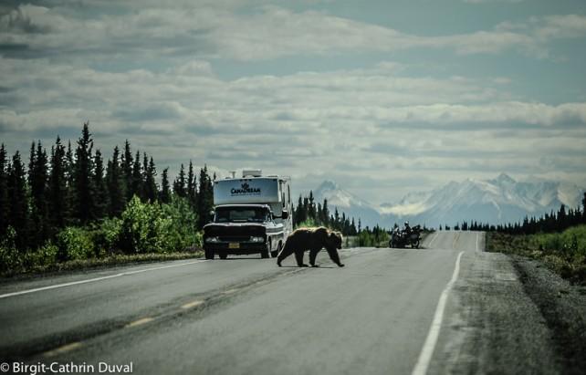 Der Verkehr stockt auf dem Alaska Highway wenn Mister Petz den Asphalt betritt