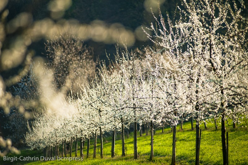 Blühende Kirschbäume zwischen Feuerbach und Sitzenkirch