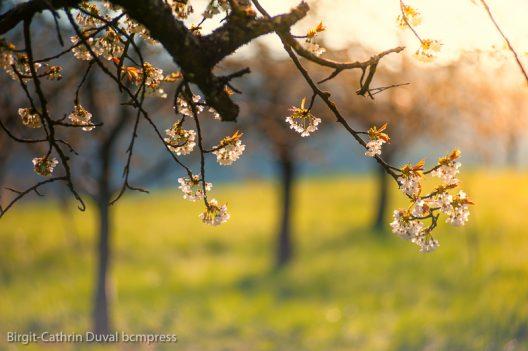 Kirschblüte im Morgenlicht