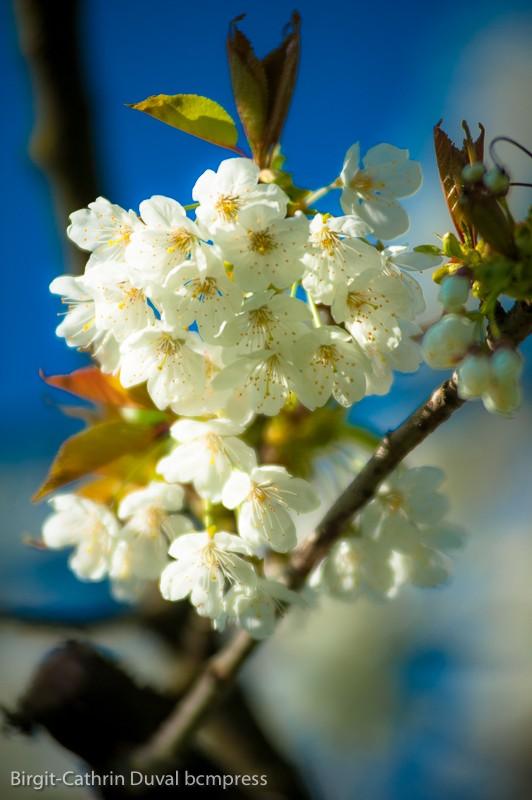 Der Duft blühender Kirschbäume - einfach wunderbar