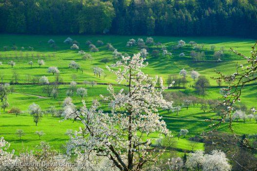 Die Kirschblüte wird jedes Jahr mit einem Kirschblütenfest gefeiert