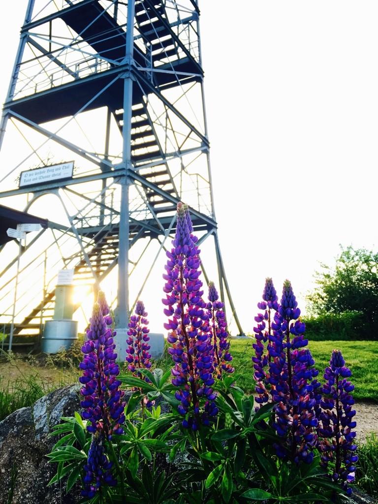 Blauenturm mit Lupinen bei Sonnenaufgang iPhone Foto: Birgit-Cathrin Duval