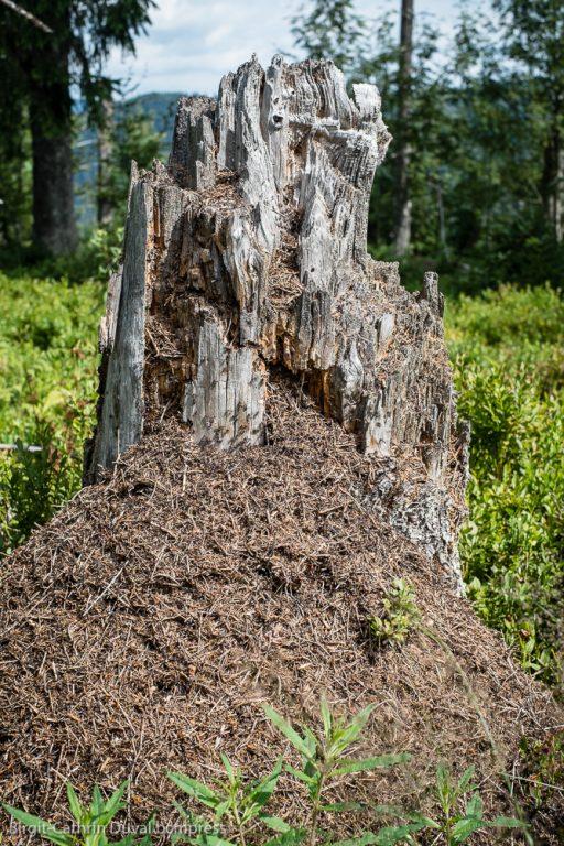 Totholz - sozusagen ein 5-Sterne-Resort für Waldameisen