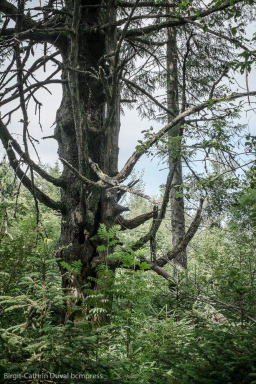 Schwarzwald-Urwald mit alten Tannenbäumen
